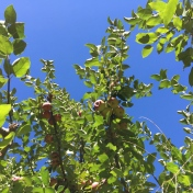 apple-sky-puddingstone